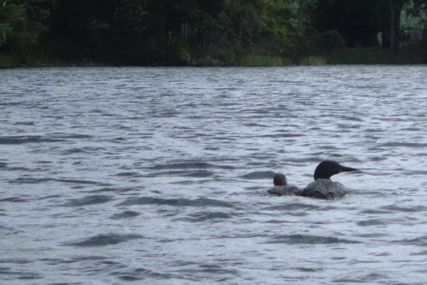 Mother Loon and baby on lake