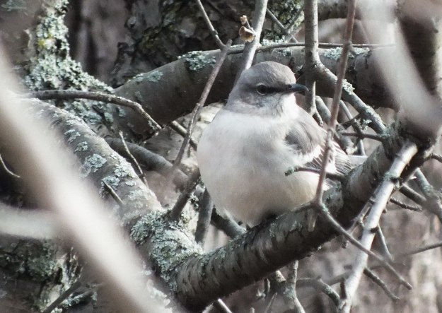 Northern Mockingbird sitting in tree in Thickson's Woods in Whitby, Ontario, Canada