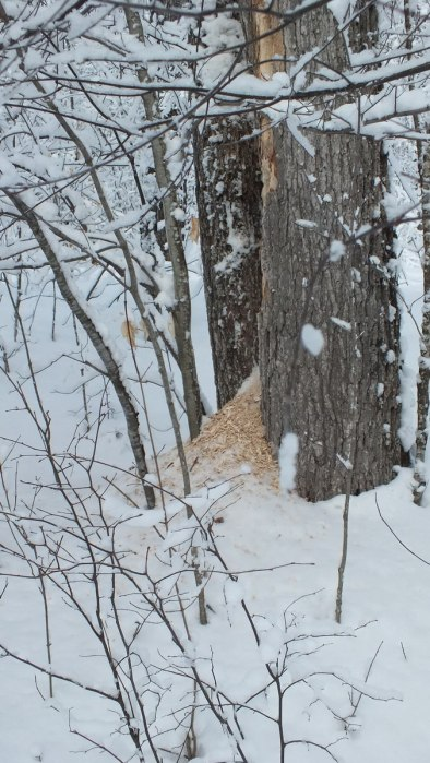 Pileated Woodpecker wood chips on snow - Algonquin Park - Ontario - January 2013