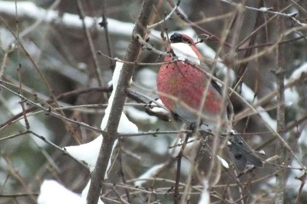 Pine Grosbeak (male) eating wild berries