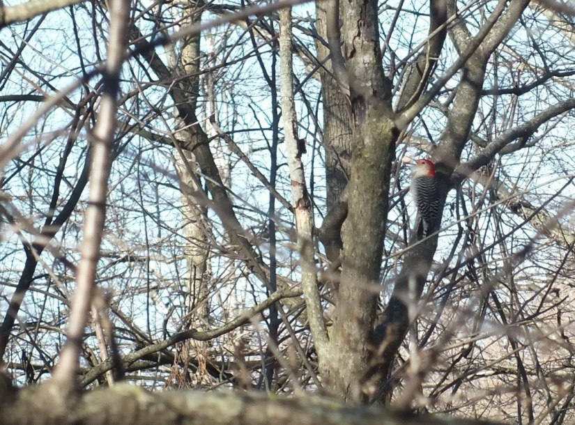 Red-bellied Woodpecker, male 2 - Lynde Shores Conservation Area, Whitby, Ontario