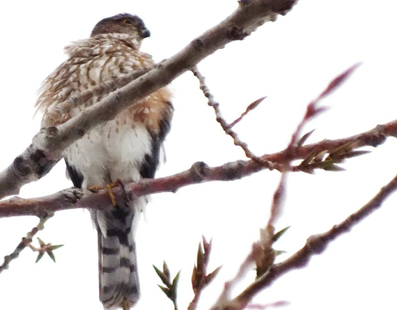 Sharp-shinned hawk - looks to lleft - Milliken Park - Toronto