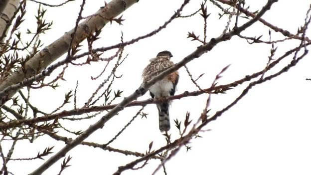 Sharp-shinned hawk - sitting in Milliken Park tree - Toronto