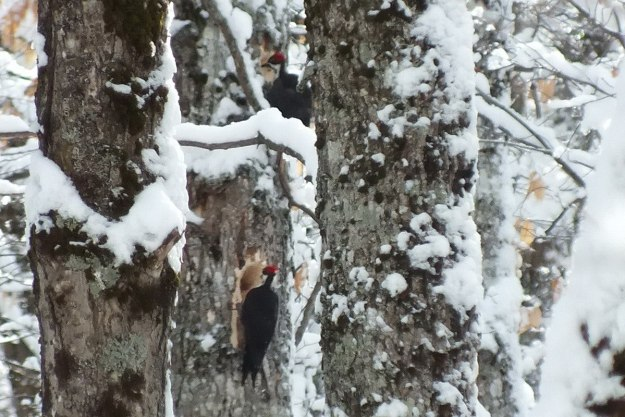 Two female Pileated Woodpeckers one above the other 2, Algonquin Park - January 2013