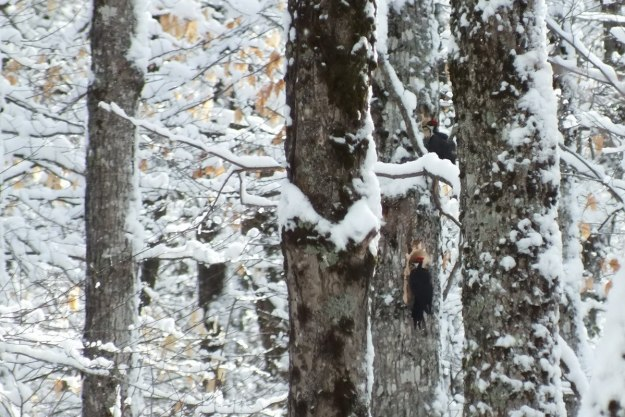 Two female Pileated Woodpeckers one above the other 3, Algonquin Park - January 2013