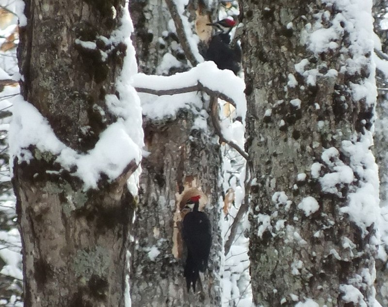 Two female Pileated Woodpeckers one above the other 4, Algonquin Park - January 2013