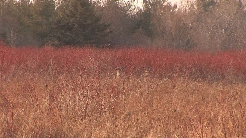 Two stationary white-tailed deer - Lynde Shores Conservation Area, Whitby, Ontario