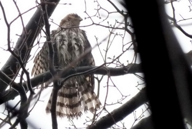 Wet Sharp Shinned Hawk sits in tree