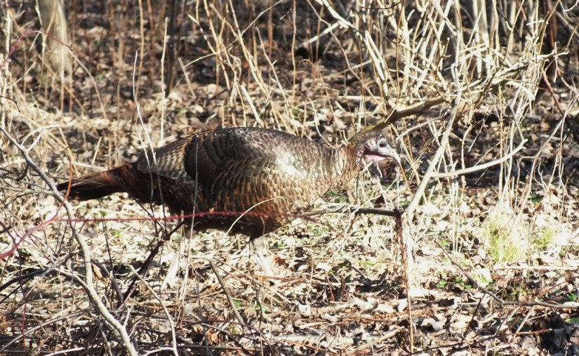 Wild Turkey on the move - Lynde Shores Conservation Area, Whitby, Ontario