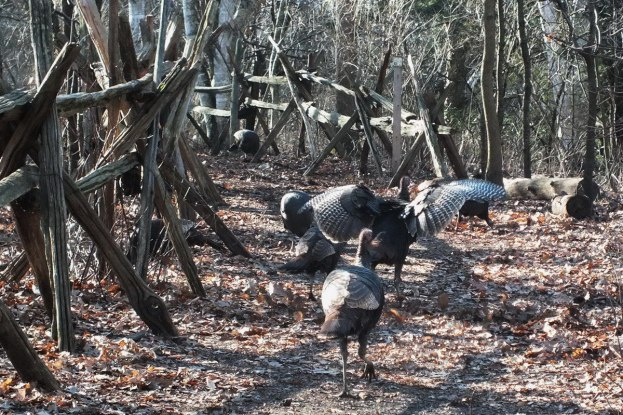 Wild Turkeys Galore - Lynde Shores Conservation Area, Whitby, Ontario