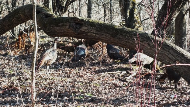 Wild Turkeys Meld into the brush - Lynde Shores Conservation Area, Whitby, Ontario