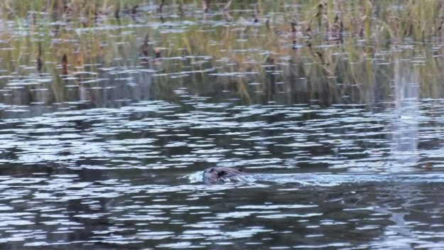 beaver swims in algonquin park