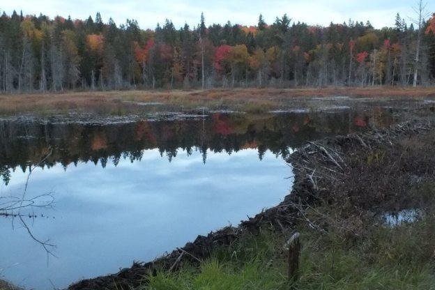 massive beaver dam in Algonquin Park - Ontario