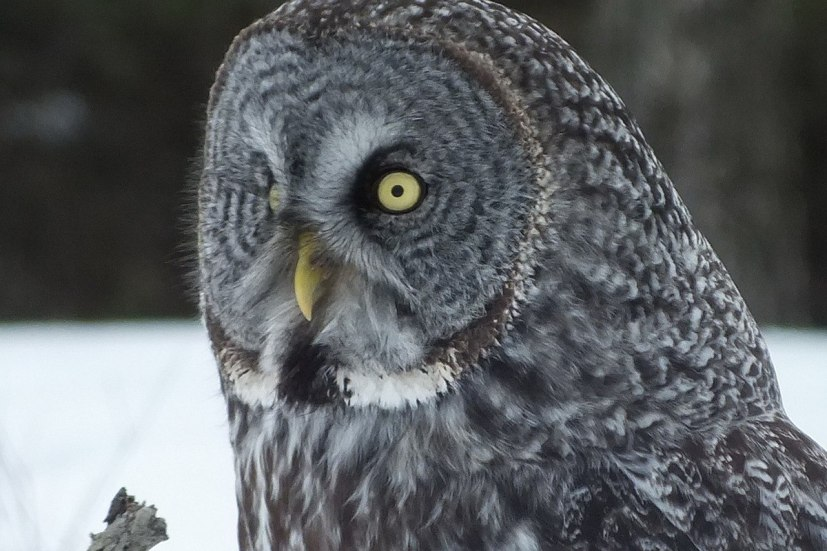 Great Grey Owl - closeup - Ottawa - Ontario - Canada - Frame To Frame - Bob & Jean picture