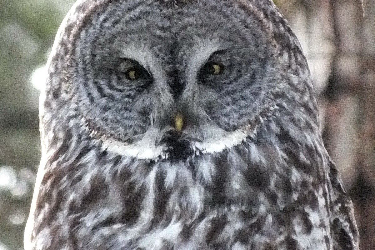 Great Grey Owl we sighted near Ottawa in Ontario