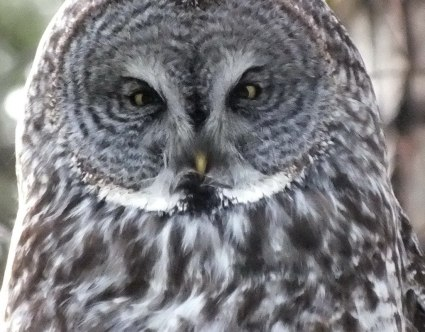 photograph of a great grey owl in a forest near Ottawa, Ontario, Canada.