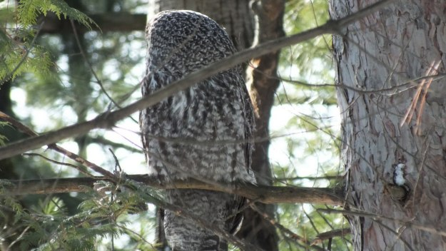 Great Grey Owl in tree near Ottawa