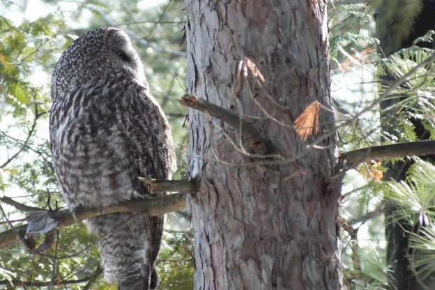 Great Grey Owl looks backwards in a tree near Ottawa, Ontario, Canada