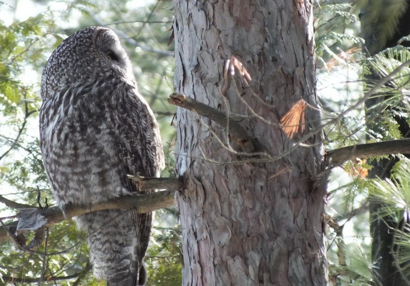 Great Grey Owl - looks right in pine tree - Ottawa - Ontario - Canada - Frame To Frame - Bob & Jean picture