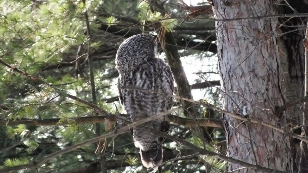 Great Grey Owl preens feathers near Ottawa, Ontario, Canada