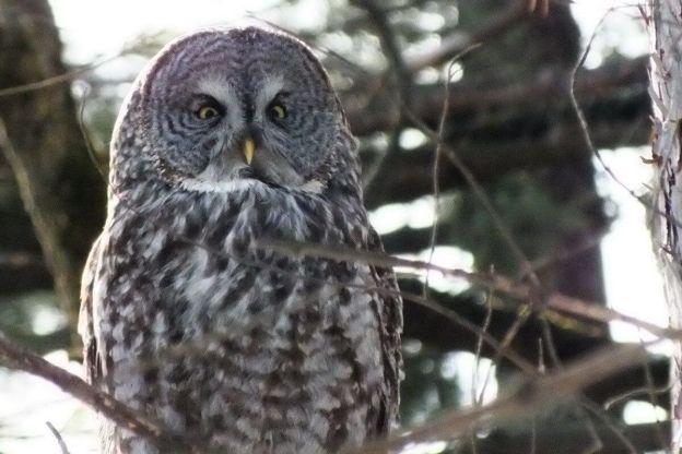 Great Grey Owl sitting in a forest near Ottawa, Ontario, Canada