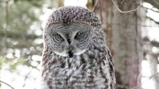 Great Grey Owl near Ottawa, Ontario, Canada