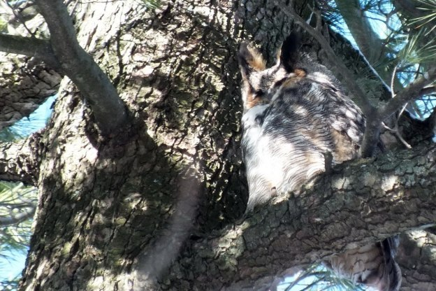 Great Horned Owl sits with eyes closed 2 - Thickson's Woods - Whitby - Ontario