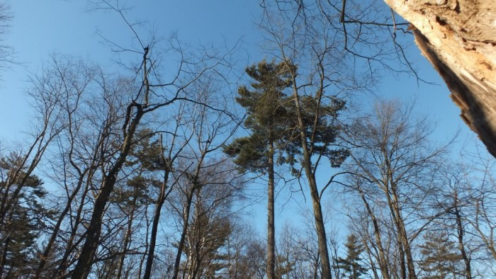 Pine Tree that Great Horned Owl was sitting in - Thickson's Woods - Whitby - Ontario