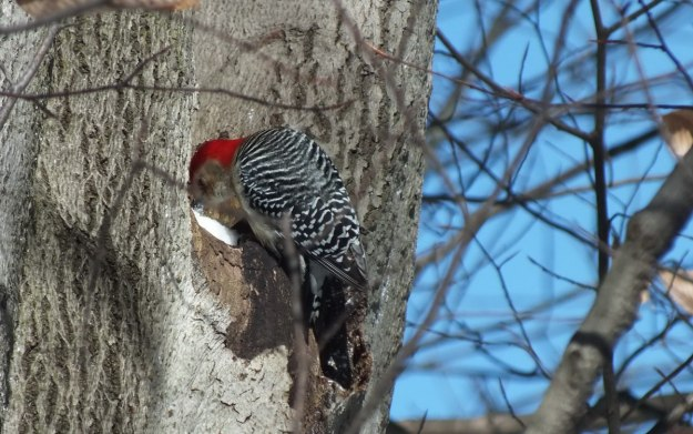 Red-bellied Woodpecker - eats snow 1 - Lynde Shores - Whitby - Ontario