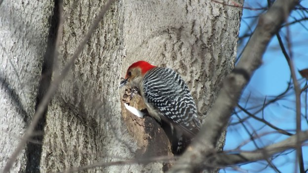 Red-bellied Woodpecker - eats snow 4 - Lynde Shores - Whitby - Ontario