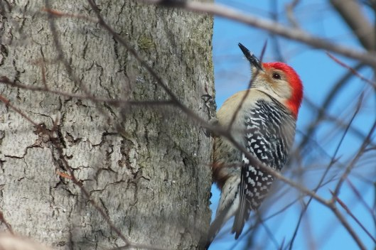 Red-bellied Woodpecker - takes a break after eats snow - Lynde Shores - Whitby - Ontario