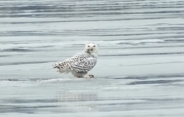 Snowy Owl gives me a closer look