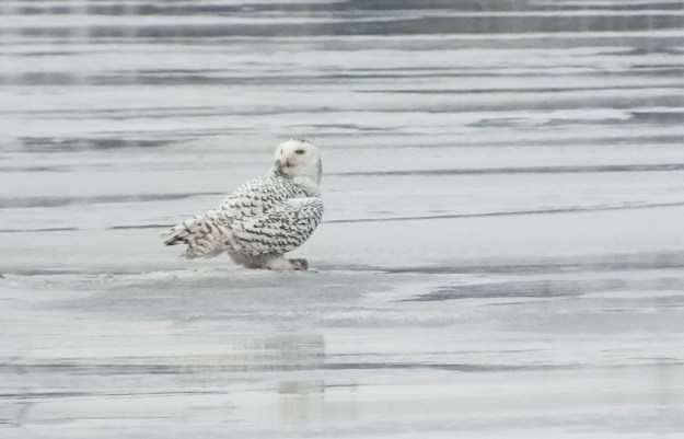 Snowy Owl - hides catch with its wings- Frenchman's Bay - Ontario - Canada