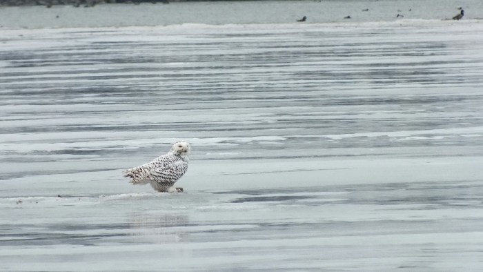 Snowy Owl looks about on ice with catch- Frenchman's Bay - Ontario - Canada
