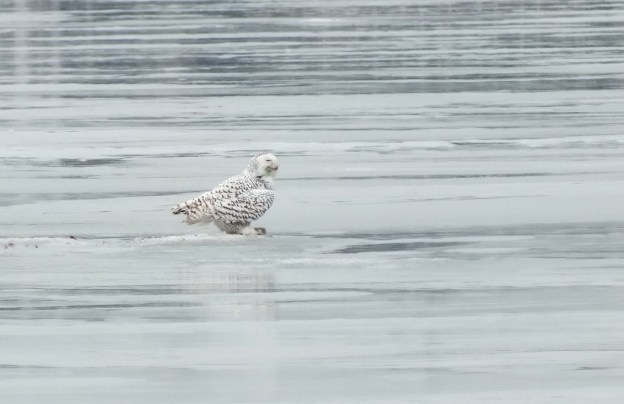 Snowy Owl - profile on ice - Frenchman's Bay - Ontario - Canada