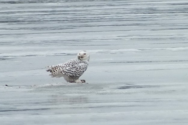 Snowy Owl sits on ice with catch- Frenchman's Bay - Ontario - Canada
