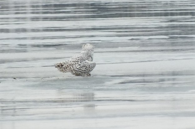 Snowy Owls - back - Frenchman's Bay - Ontario - Canada