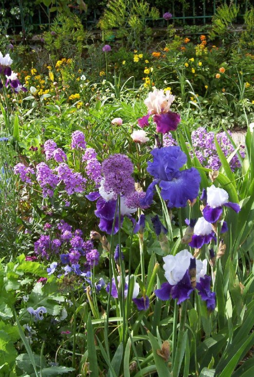 An image of allium, phlox and irises growing in Claude Monet's garden in Giverny, France.