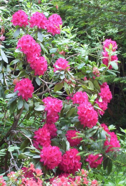 An image of Rhododendrons growing in Claude Monet's garden in Giverny, France.