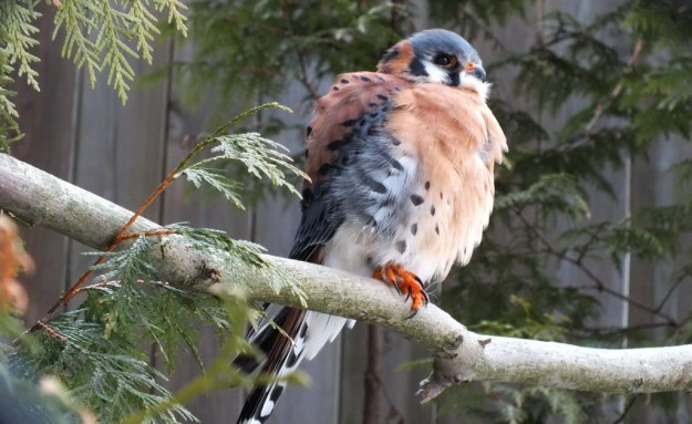 American Kestrel - profile - Mountsberg Raptor Centre