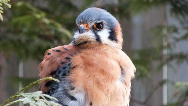 American Kestrel all puffed up at the Mountsberg Raptor Centre
