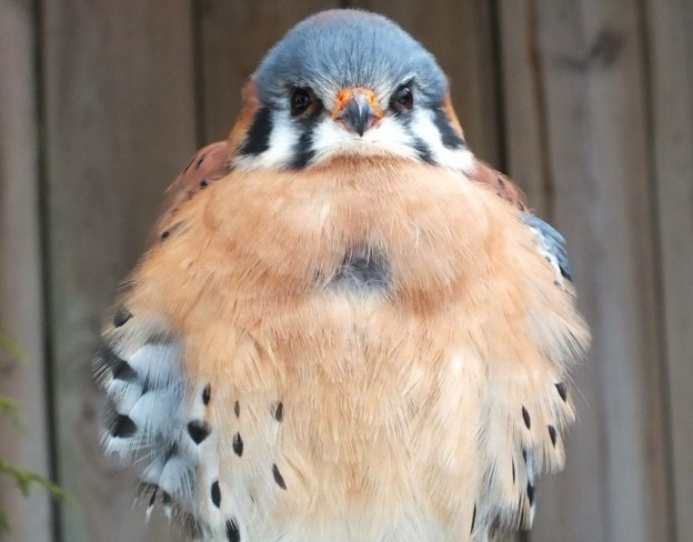 American Kestrel gives us a stare down at the Mountsberg Raptor Centre