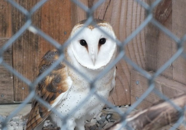 Barn Owl gives us a look at the Mountsberg Raptor Centre