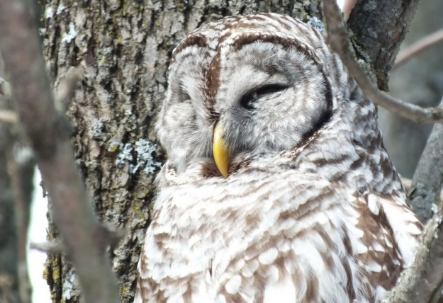 Barred Owl - closeup sleeping - Cranberry West Tract - Whitby