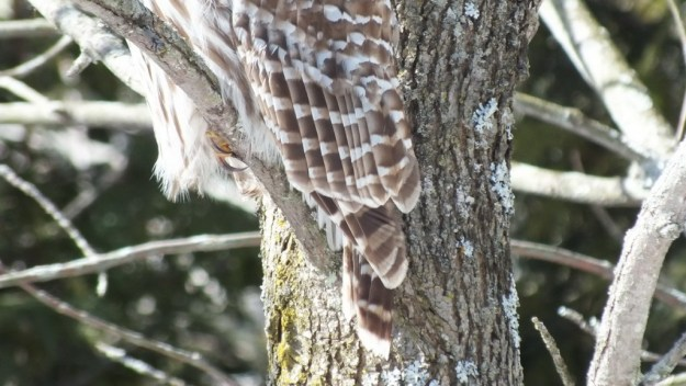 Barred Owl - holds on tight --- Cranberry West Tract - Whitby