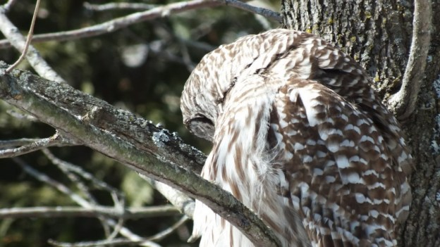 Barred Owl - profile - Cranberry West Tract - Whitby