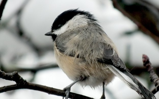 A Black-capped Chickadee sits in a tree in Toronto during a snowstorm.