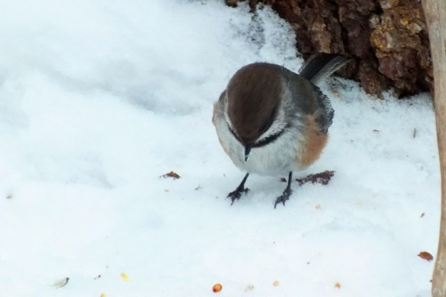 A Boreal chickadee forages for food in Algonquin Provincial Park