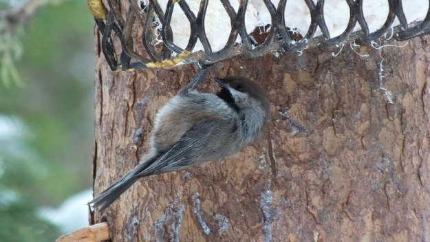 A Boreal chickadee checks out the suet feeder in Algonquin Park