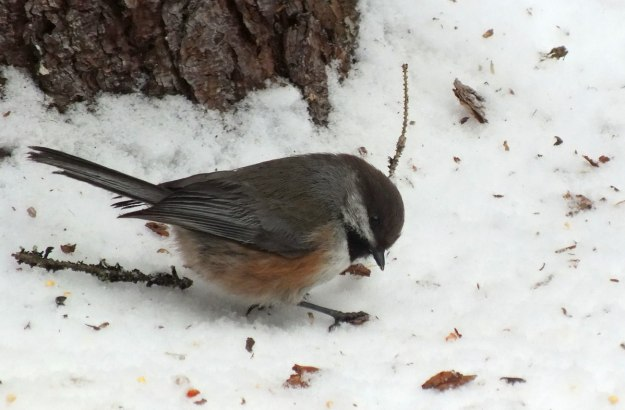 A Boreal chickadee looks for food on the snow in Algonquin Park